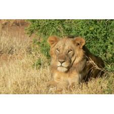 Leeuw in de bush